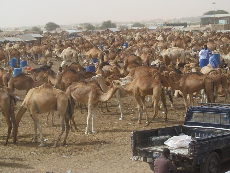 Wielbłądy na afrykańskim targowisku