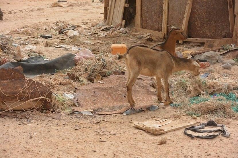 Zwierzęta grzebią w śmieciach