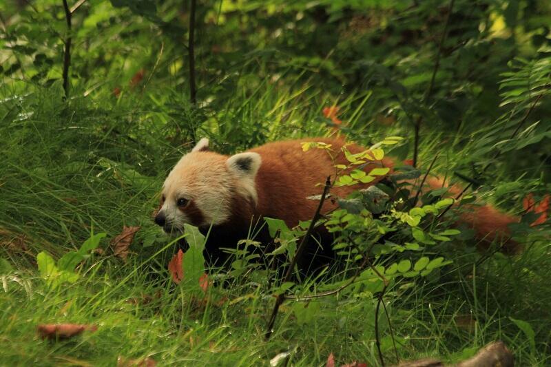 Nowego mieszkańca gdańskiego zoo najlepiej odwiedzać w godzinach porannych lub popołudniowych. Resztę czasu przesypia