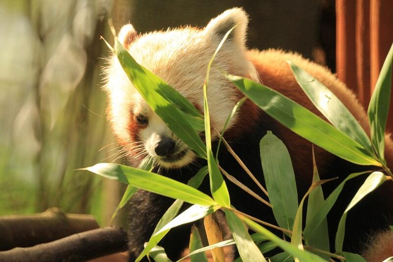 Podstawowym pokarmem pandy małej jest bambus. Bartek ma własną plantację w Oliwie