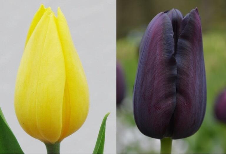 Przekazywane są te dwie odmiany tulipanów: Strong Gold (żółty) i Queen of Night (czarny)