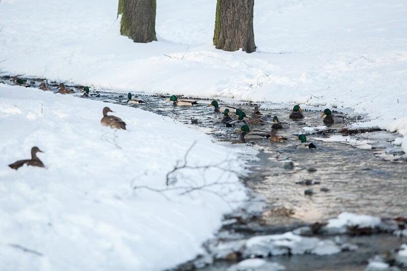 Kaczki z Parku Oruńskiego w Gdańsku