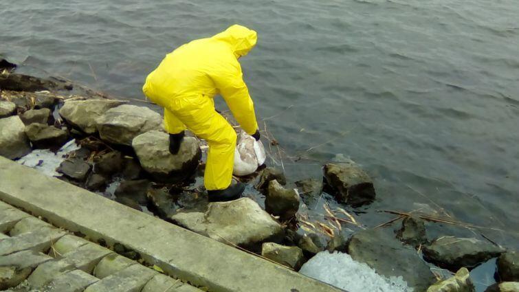 Strażnicy miejscy podczas akcji usuwania martwych ptaków z Wyspy Sobieszewskiej