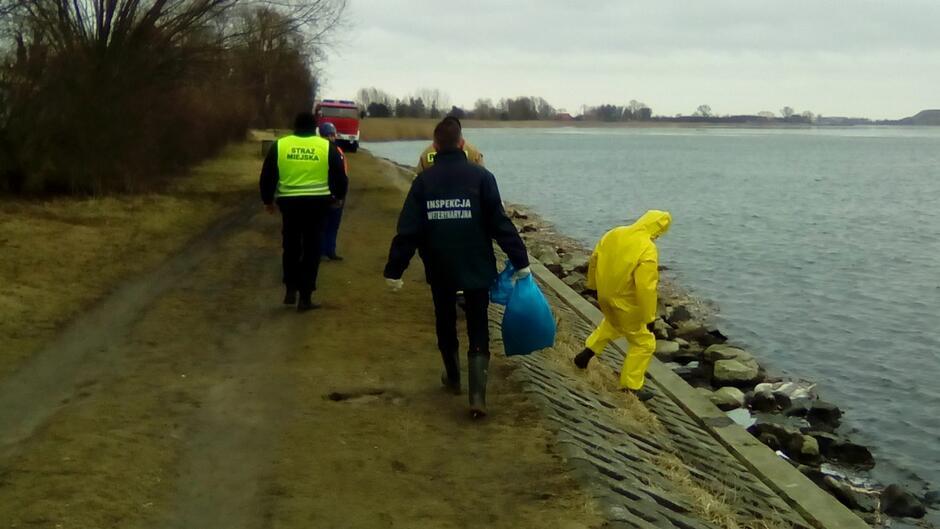 Akcja wyławiania martwych łabędzi miała miejsce w poniedziałek 20 lutego, w godzinach popołudniowych