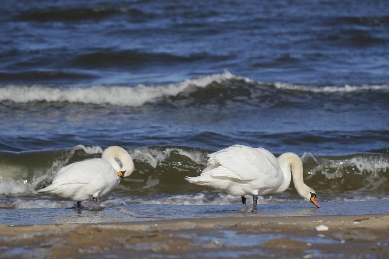Służby weterynaryjne stwierdziły, że w lutym na Wyspie Sobieszewskiej padło w sumie 10 łabędzi niemych, które były zarażone wirusem ptasiej grypy H5N8