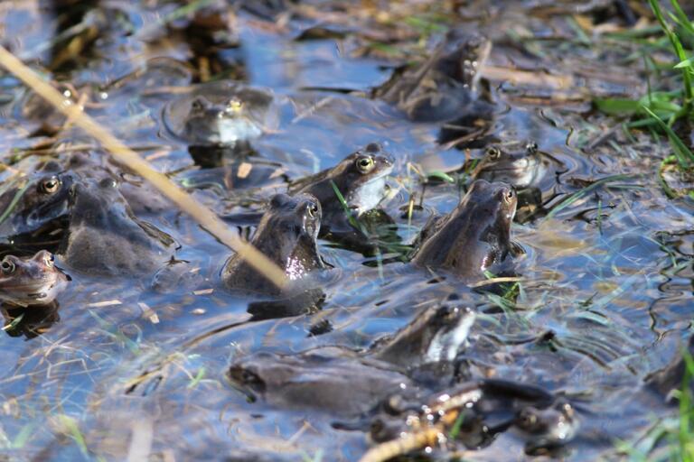 Godujące żaby trawne