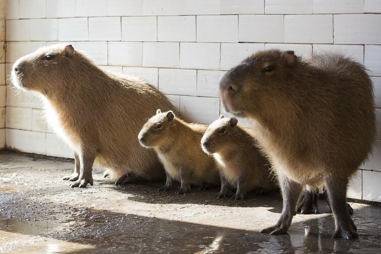 Mieszkańcy przesłali aż pół tysiąca propozycji imion dla kapibar urodzonych w styczniu w oliwskim zoo. Ich opiekun opowiada: - Czytałem im na głos wszystkie propozycje i obserwowałem reakcje. Na większość w ogóle nie reagowały, jedząc spokojnie marchewkę. Zareagowały dopiero na Rubę i Ruzel