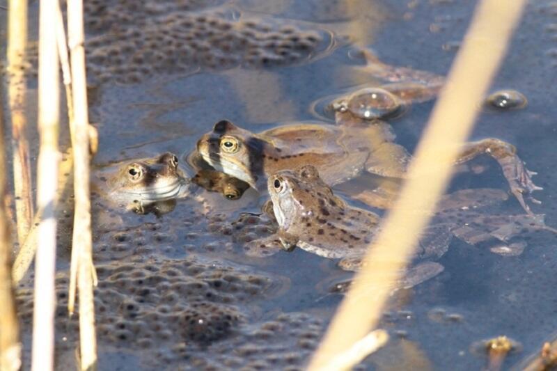 Żaby trawne i ich potomstwo. Na razie w formie skrzeku
