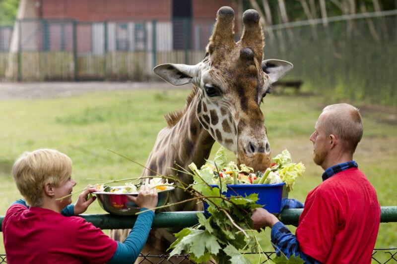 Żyrafa w oliwskim zoo
