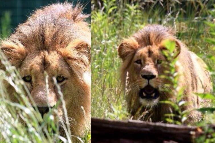 Nz. Lew Lolek jest już w ogrodzie zoologicznym w Brnie. Przed nim ważna misja, założenie nowego stada