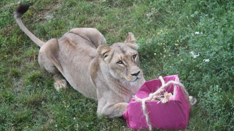 Międzynarodowy Dzień Lwa w gdańskim zoo, 10 sierpnia 2017 roku
