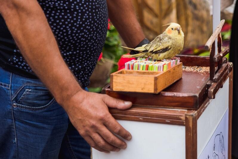 Urocze papużki wróżące przechodniom... robią to nielegalnie