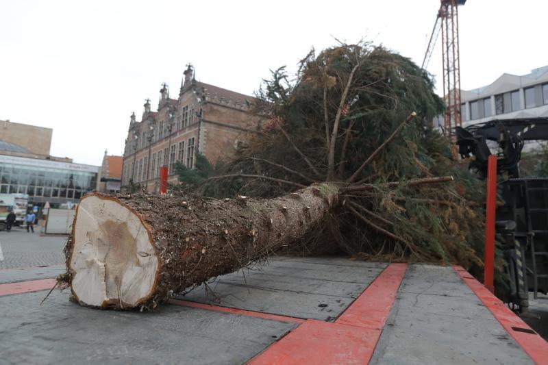 Drzewo ma kilkanaście metrów wysokości