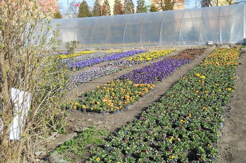 Ogrodnictwo Stogi przy ul. Tamka, mieszkańcy pobliskich bloków mają tu w sezonie piękny widok...