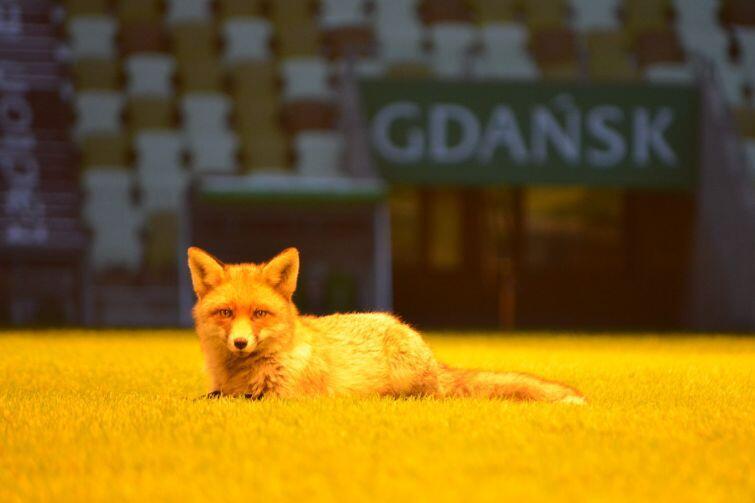 Lis, który odwiedza gdański stadion