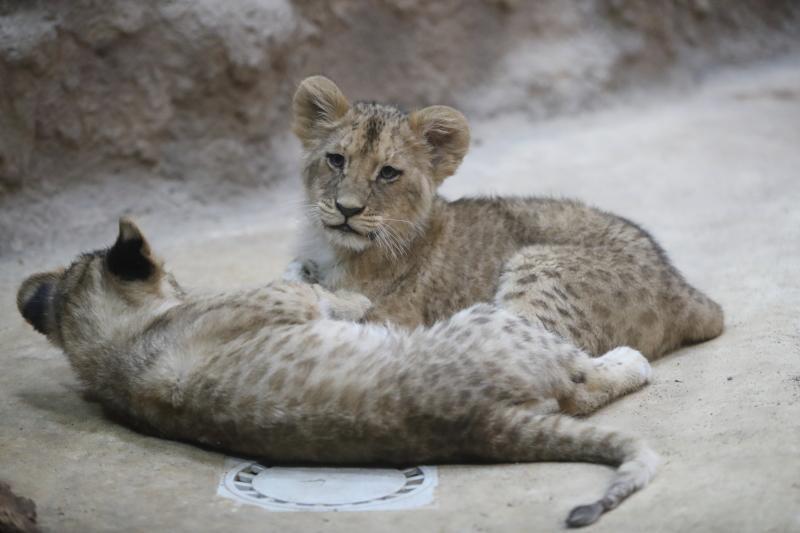 W listopadzie ubiegłego roku w gdańskim ZOO urodziły się cztery lwy. Dziś można je oglądać już na wybiegu