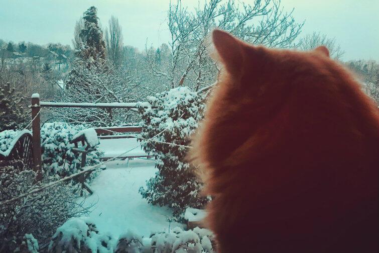 Kot 'Puszek' wpatrzony w zimowy pejzaż na gdańskich Siedlcach