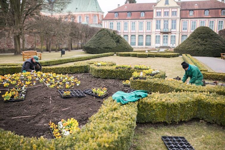 Na kwietnikach w Parku Oliwskim im. Adama Mickiewicza zakwitły bratki w różnych kolorach