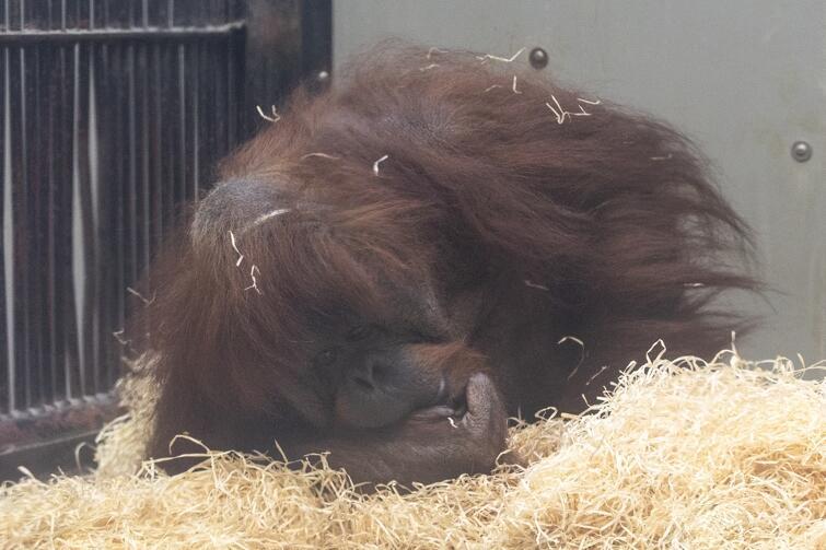 Olejolej Gdańskie Zoo Walczy O życie Orangutanów I Zdrowie