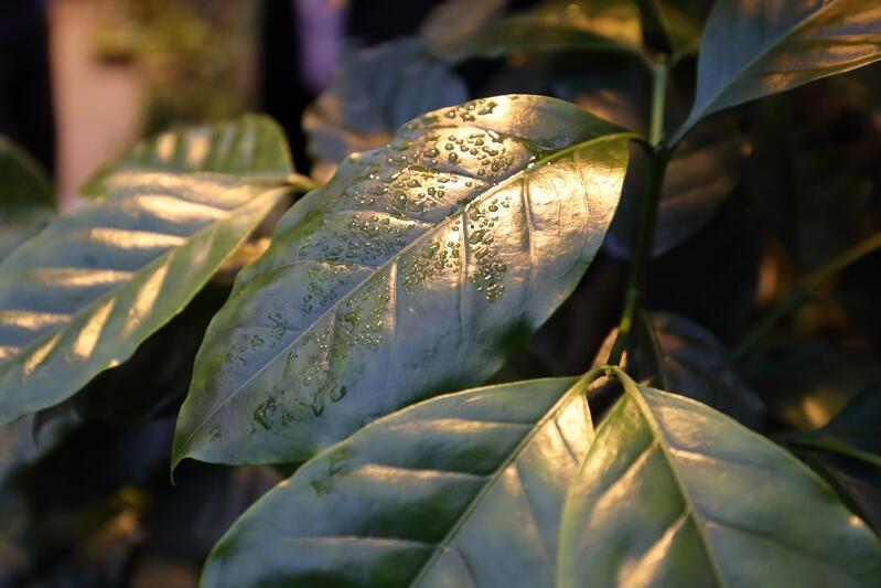 Liście krzewu kawowca