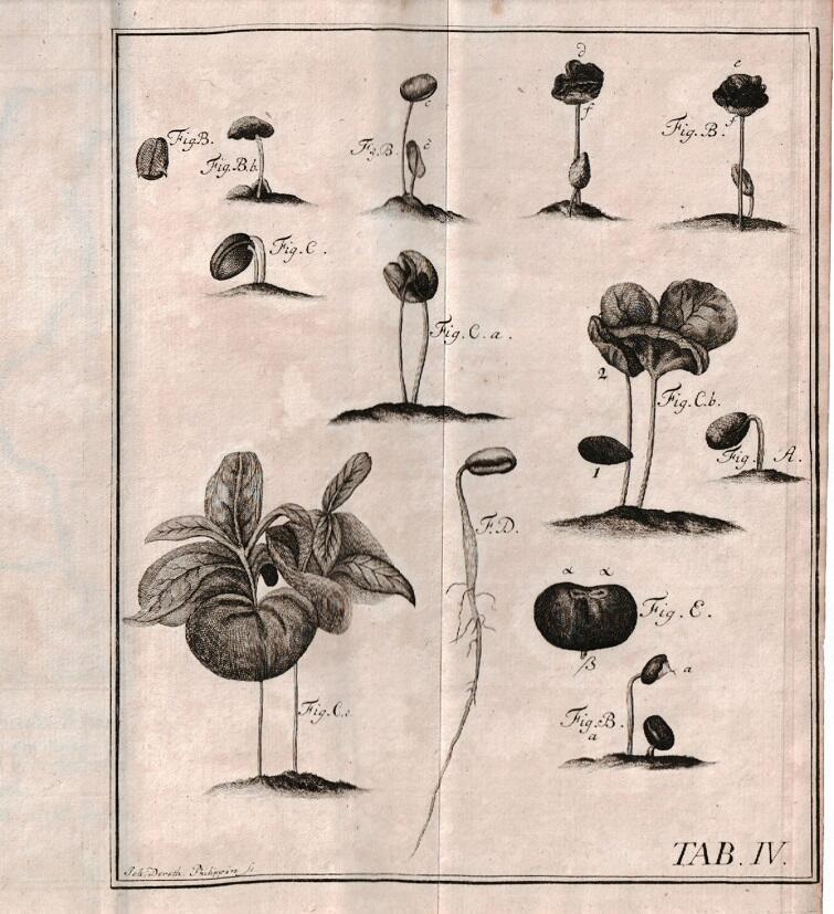 Ryciny przedstawiające krzew kawowca autorstwa Jakoba Kleina z rozprawy o hodowli tej rośliny