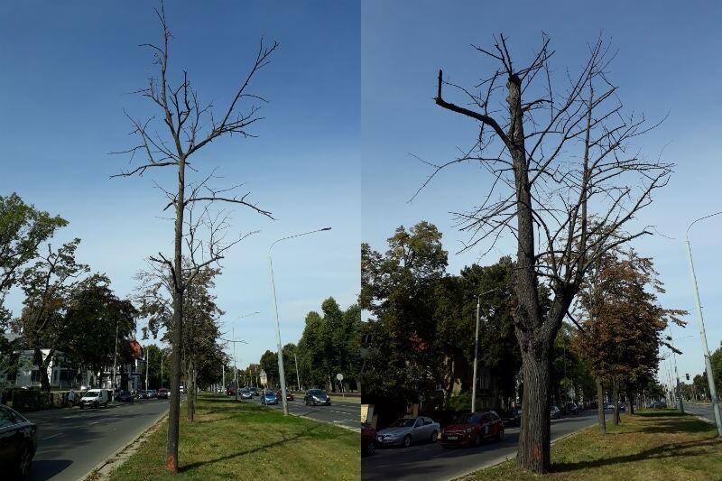 Z ciągu al. Zwycięstwa trzeba wyciąć 19 martwych drzew