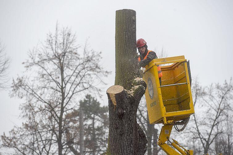 Zdaniem ekspertów większość drzew (500 sztuk) z Wielkiej Alei Lipowej dożywa swojego biologicznego kresu