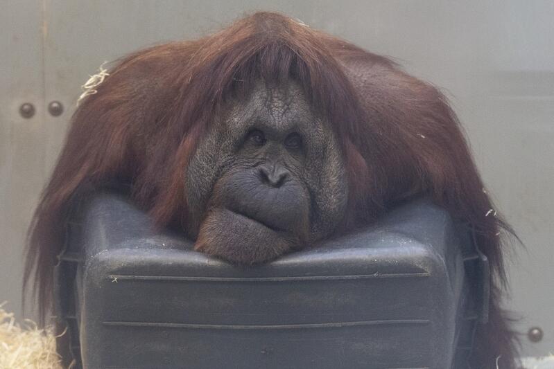 """#olejolej to hasło nowej kampanii oliwskiego ZOO """"Ocalmy Orangutany"""". Gdański Ogród Zoologiczny jest jedynym w Polsce, w którym zamieszkują te niezwykle inteligentne małpy człekokształtne - gatunek krytycznie zagrożony wyginięciem. Jak się okazuje samica orangutana Raja maluje nawet obrazy, którymi handluje... Na zdjęciu orangutan Albert"""