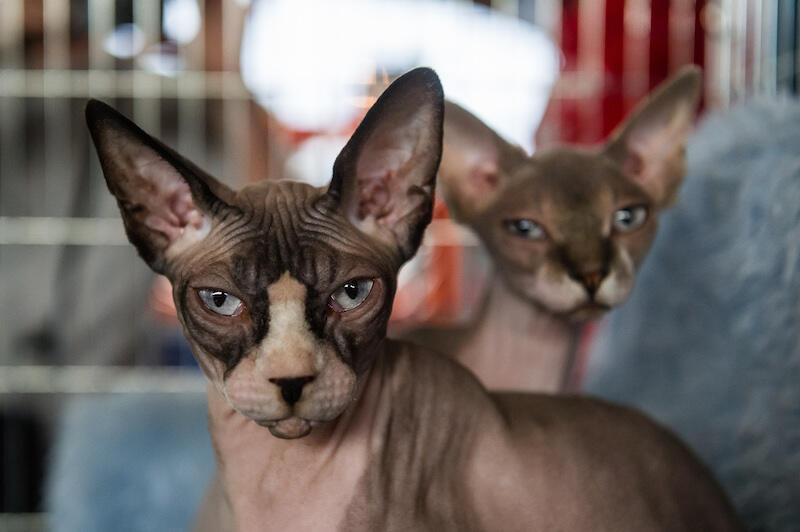 Na tegorocznej wystawie odbędzie się Show Lodowe Spojrzenie  w którym udział wezmą koty z przynajmniej jednym, niebieskim okiem. Spośród tych kotów, sędzia wybierze kota o najbardziej błękitnym spojrzeniu, najpiękniejszego kota z niebieskimi oczami i najmilszego kota z niebieskimi oczami. Start konkursu w sobotę, godz. 15.00.