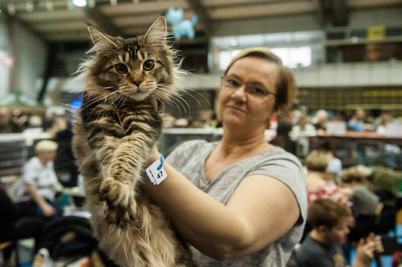 Maine Coon to największa i aktualnie najpopularniejsza (w Polsce) domowa rasa kotów, jaka istnieje