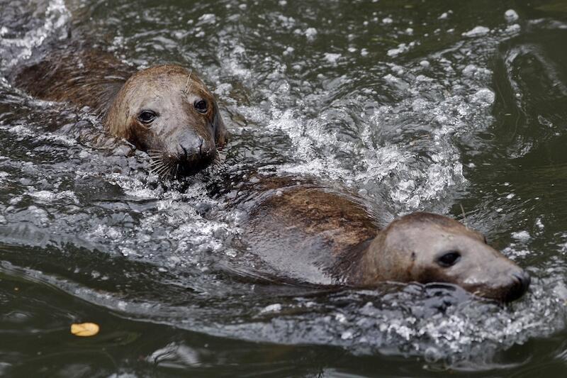 Foki są świetnymi pływakami, potrafią spędzić pod wodą nawet 30 minut. Samce mogą osiągnąć 2,5 m długości i 300 kg wagi, samice są mniejsze.