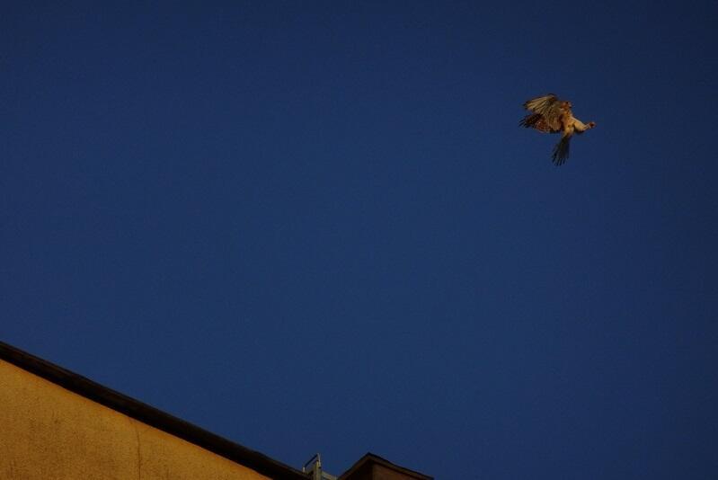 Najchętniej spożywa gryzonie, ale nie pogardzi także chrząszczem (na niego poluje na tym zdjęciu)