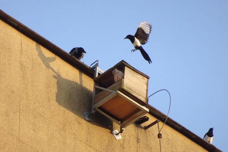 Można powiedzieć, że `rządzą na dzielnicy` - pustułce w skrzynce przyglądają się sąsiedzi innych gatunków...