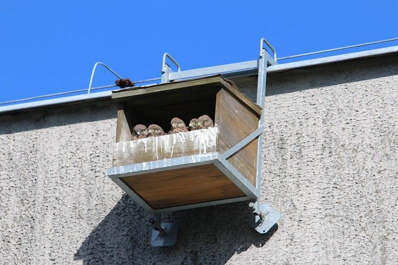 Od 2014 r. w Gdańsku i Sopocie w skrzynkach lęgowych urodziło się ok 150 młodych - tu pisklęta z bloku przy ul. Nałkowskiej. Zdjęcie podesłała na Fb jedna z fanek pustułek z Piecek-Migowa