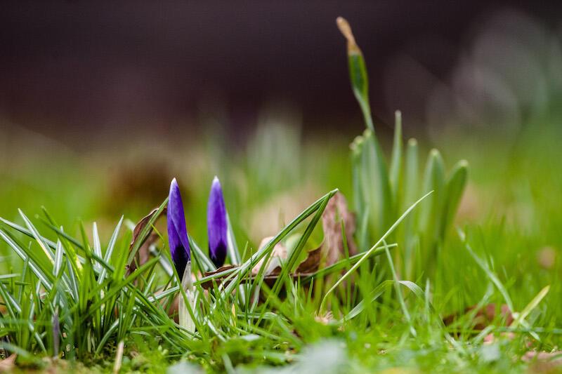 M.in. pierwszych oznak wiosny będziemy szukać w gdańskim zoo. Nz. krokusy