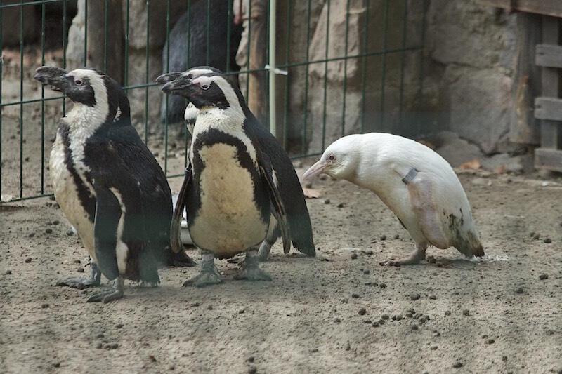 Biały pingwin jest pierwszym potomkiem swoich młodych rodziców (samica ma 2 lata, ojciec 4 lata)