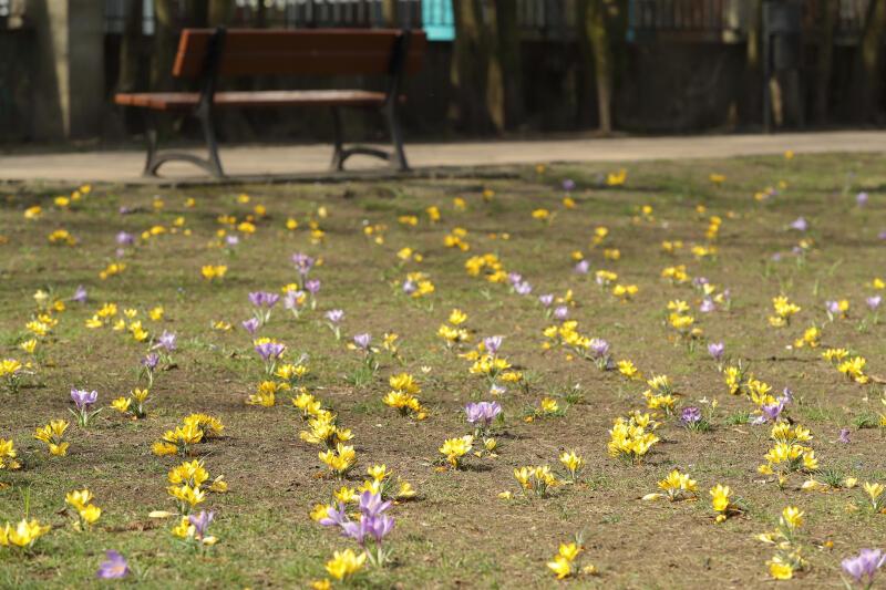 Krokusowy dywan w Parku Kuźniczki
