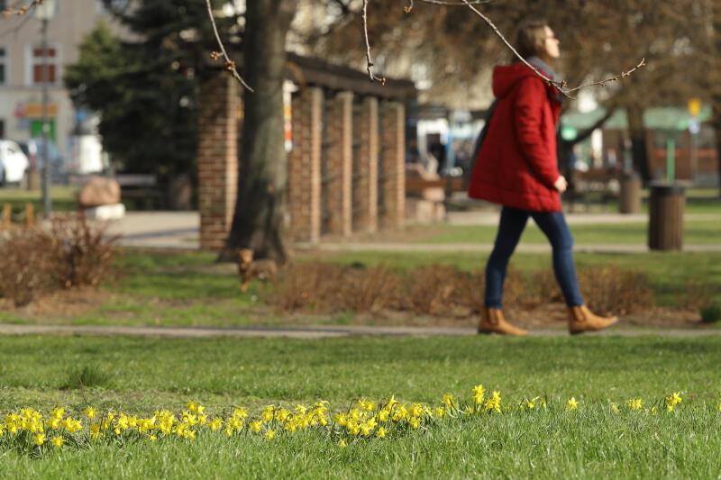 Żonkile wychylają główki na trawniku przy placu Dariusza Kobzdeja