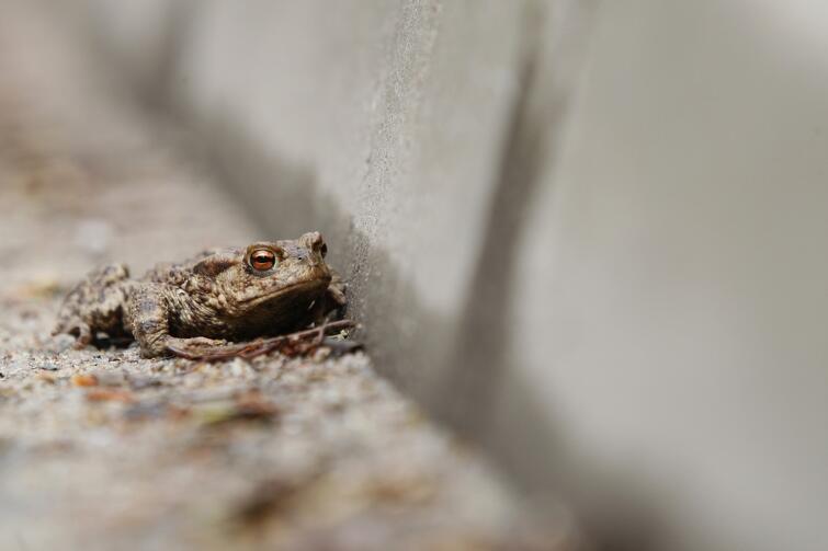 Wiosną żaby rozpoczynają coroczną wędrówkę ze swych zimowych legowisk do pobliskich zbiorników wodnych. Wiele z nich ginie podczas wędrówki