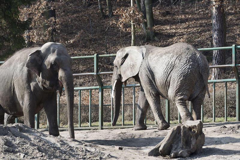 Ile jedzą słonie? Dużo! Roczny koszt ich wyżywienia wynosi ponad 40 tys. zł.!