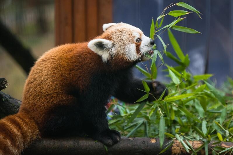 Miesięczne zobowiązanie finansowe przy wirtualnej adopcji pandy małej to koszt 450 zł. netto