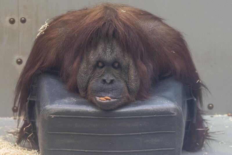 Gdańskie zoo jako jedyne w Polsce może się poszczycić unikatowymi mieszkańcami, jakimi są orangutany