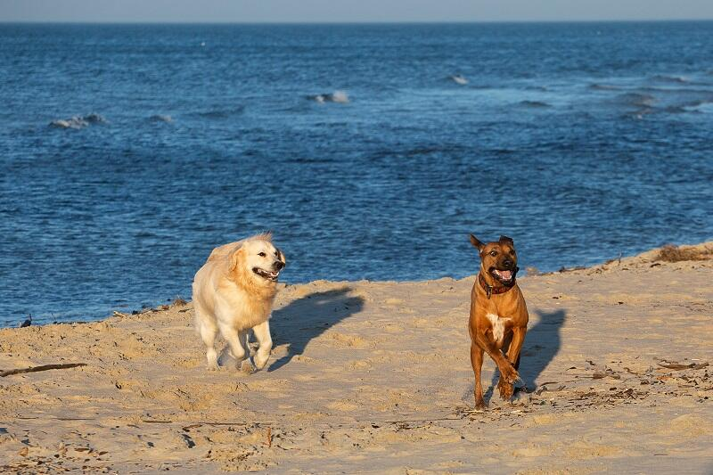 Nie ma to jak psie hasanie po plaży z `kumplem`, ale też łatwo się zagubić w tej wielkiej przestrzeni...