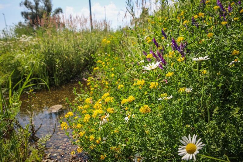 Modelowy ogród deszczowy przy ul. Kaczeńce ma się świetnie i zbiera wodę do podlewania innych roślin