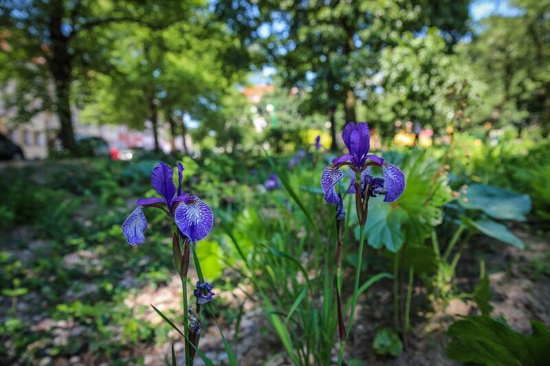 Ogród deszczowy w Dolnym Wrzeszczu przy placu bpa. O`Rourke jest piękny i zabezpiecza okoliczne budynki przed zalaniem