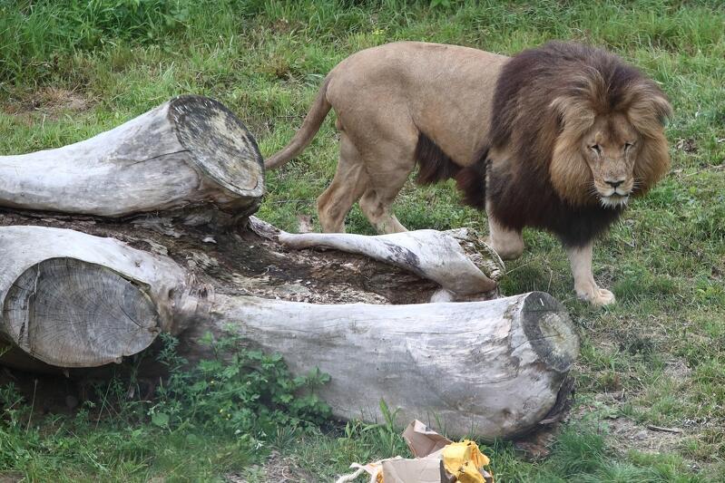 Lwy angolskie, jak wynika z ankiet przeprowadzonych wśród gości gdańskiego zoo, to jedne z ich ulubionych i najchętniej odwiedzanych zwierząt