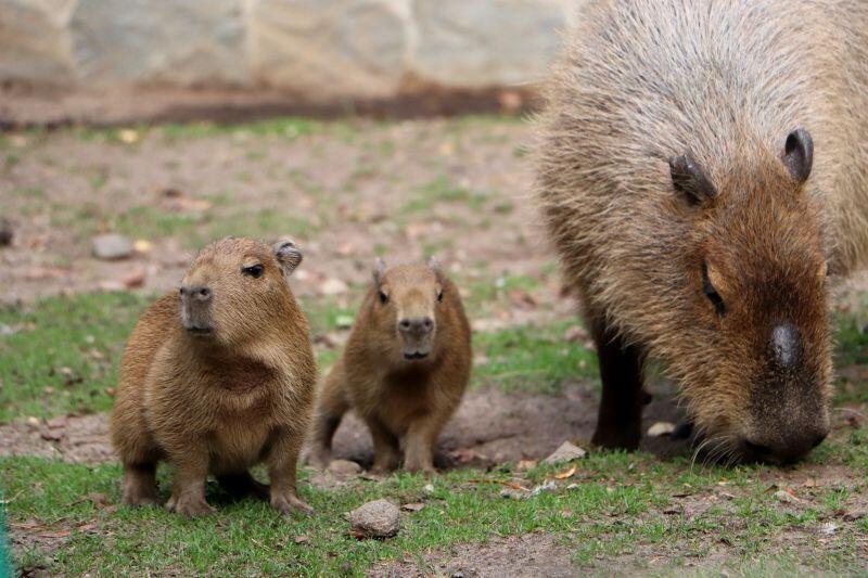 Dwa małe kapibarki to nowy przychówek Gdańskiego Ogrodu Zoologicznego