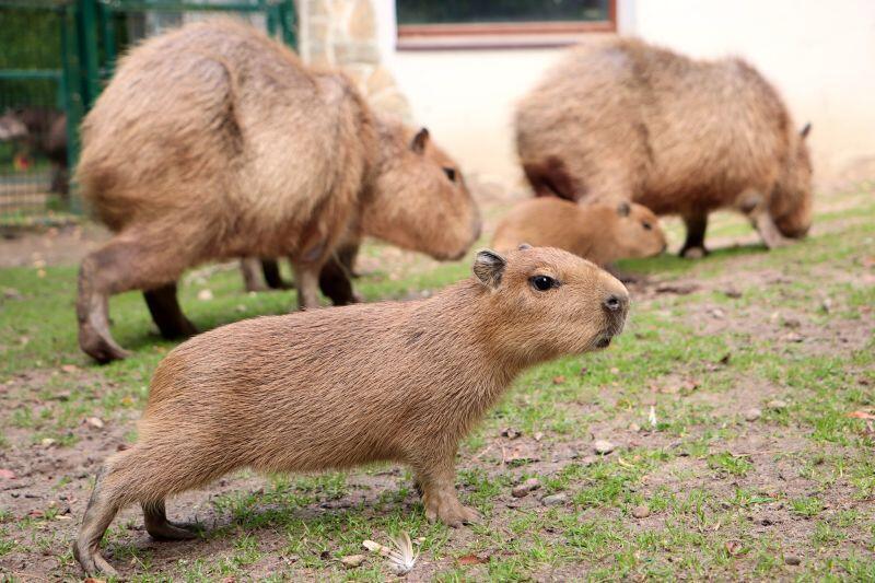 Kapibara, gdy urośnie może ważyć ponad 60 kg