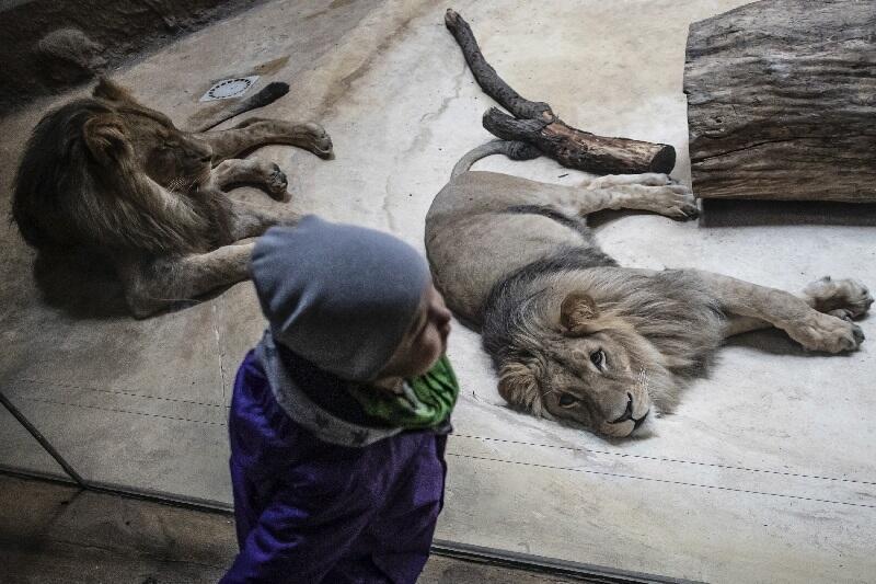 Lwy za szybą, czyli nie ma się czego bać