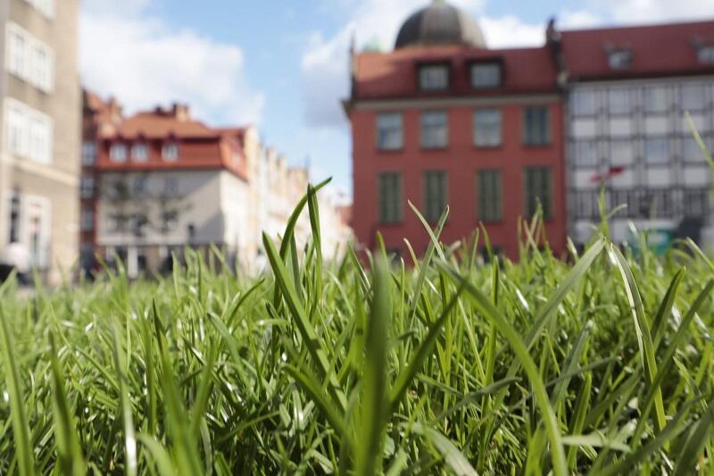 Zbliżenie na gęsty dywan trawy na skwerze przy ul. Św. Ducha